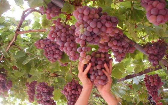 الزراعة: فتح أسواق جديدة فى كندا والمغرب أمام صادرات الطماطم والعنب